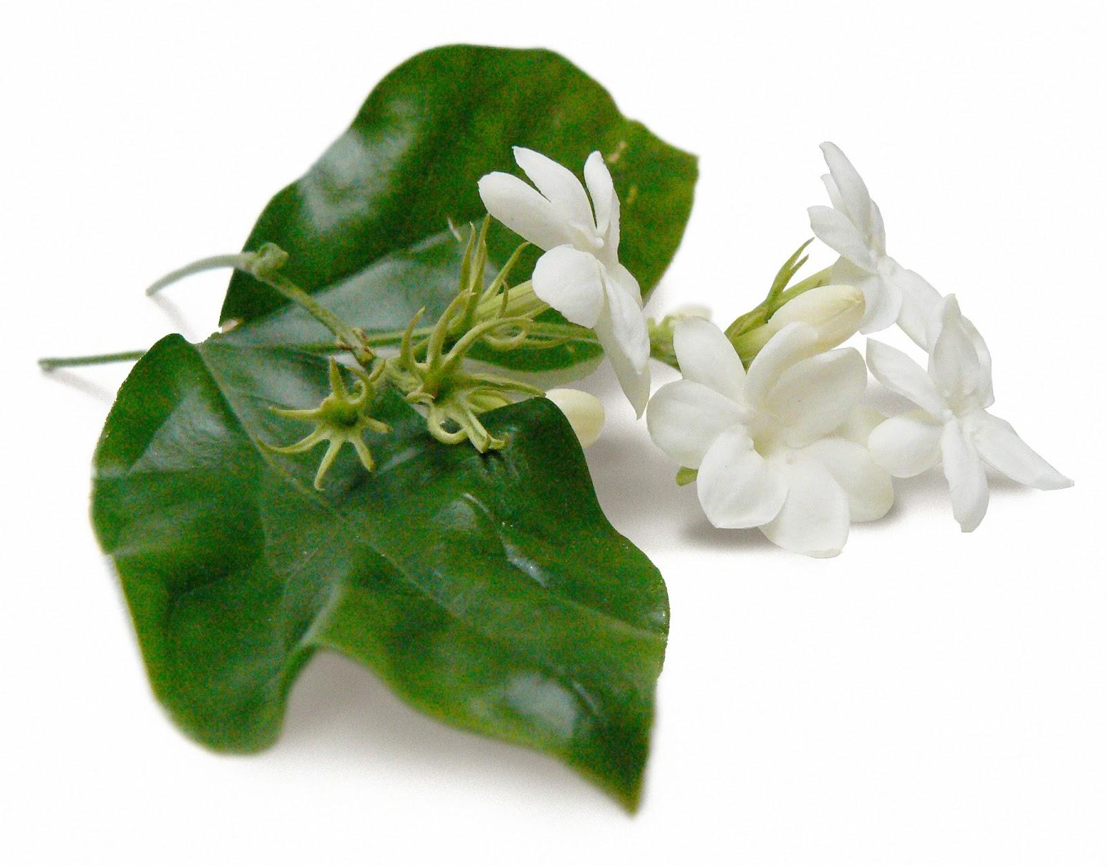 Jasmine sambac absolute phytexence izmirmasajfo