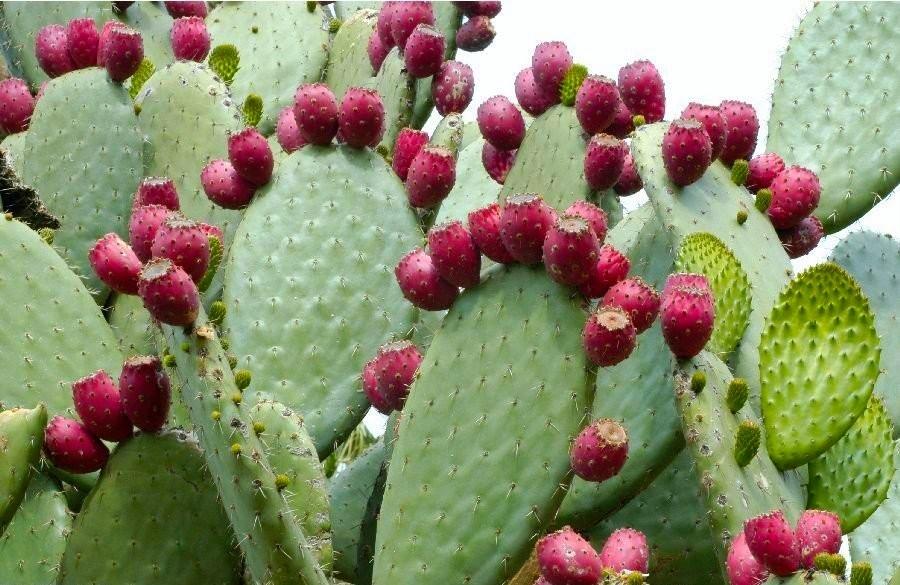 Opuntia-Ficus-Indica